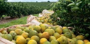 Seca e altas temperaturas derrubam produção de laranja em Minas e São Paulo
