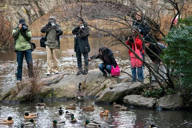 pato-mandarim no Central Park em Nova York