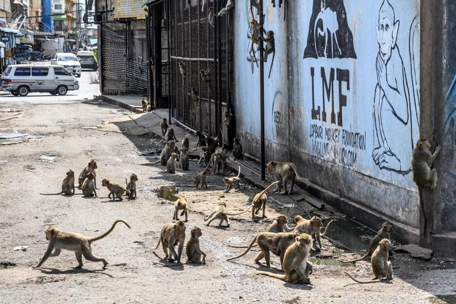 Em Lopburi, na Tailândia, milhares de macacos em liberdade, atração de turistas hoje inexistentes, dominaram a cidade e moradores estão confinados