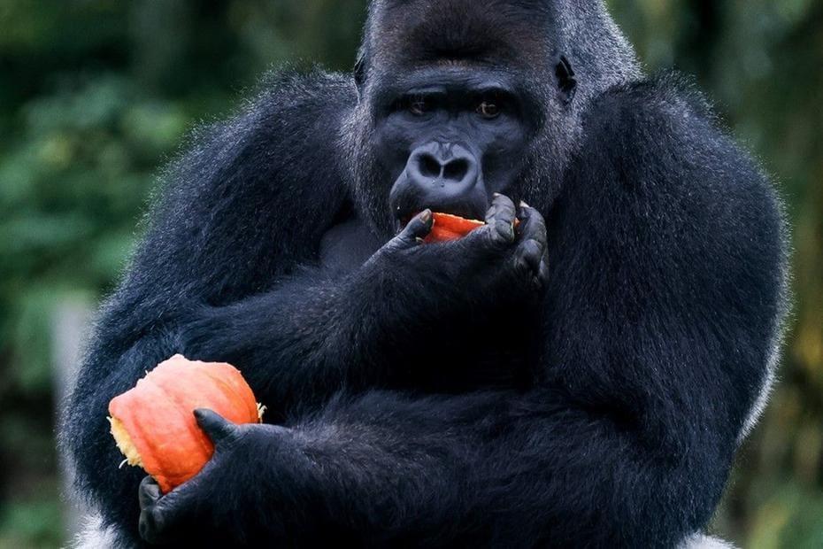 macaco comendo abóbora