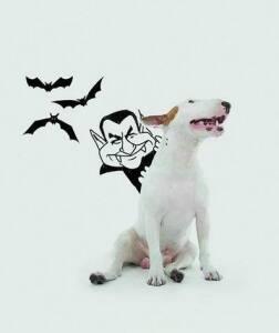 5f4b0ba6863b4 Jimmy  Bull terrier do publicitário Rafael Mantesso já fez campanha para a  grife londrina Jimmy