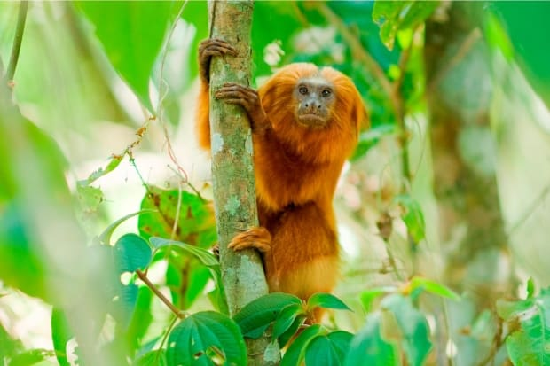 conheça sete animais que estão ameaçados de extinção no brasil